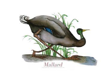 Mallard - signed print
